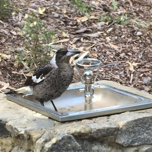 not enough water for a bird bath  young magpiehellip