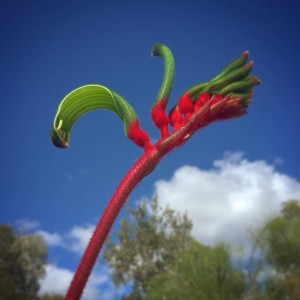 Almost spring Kangaroo Paw perth wildflowers kingspark flora